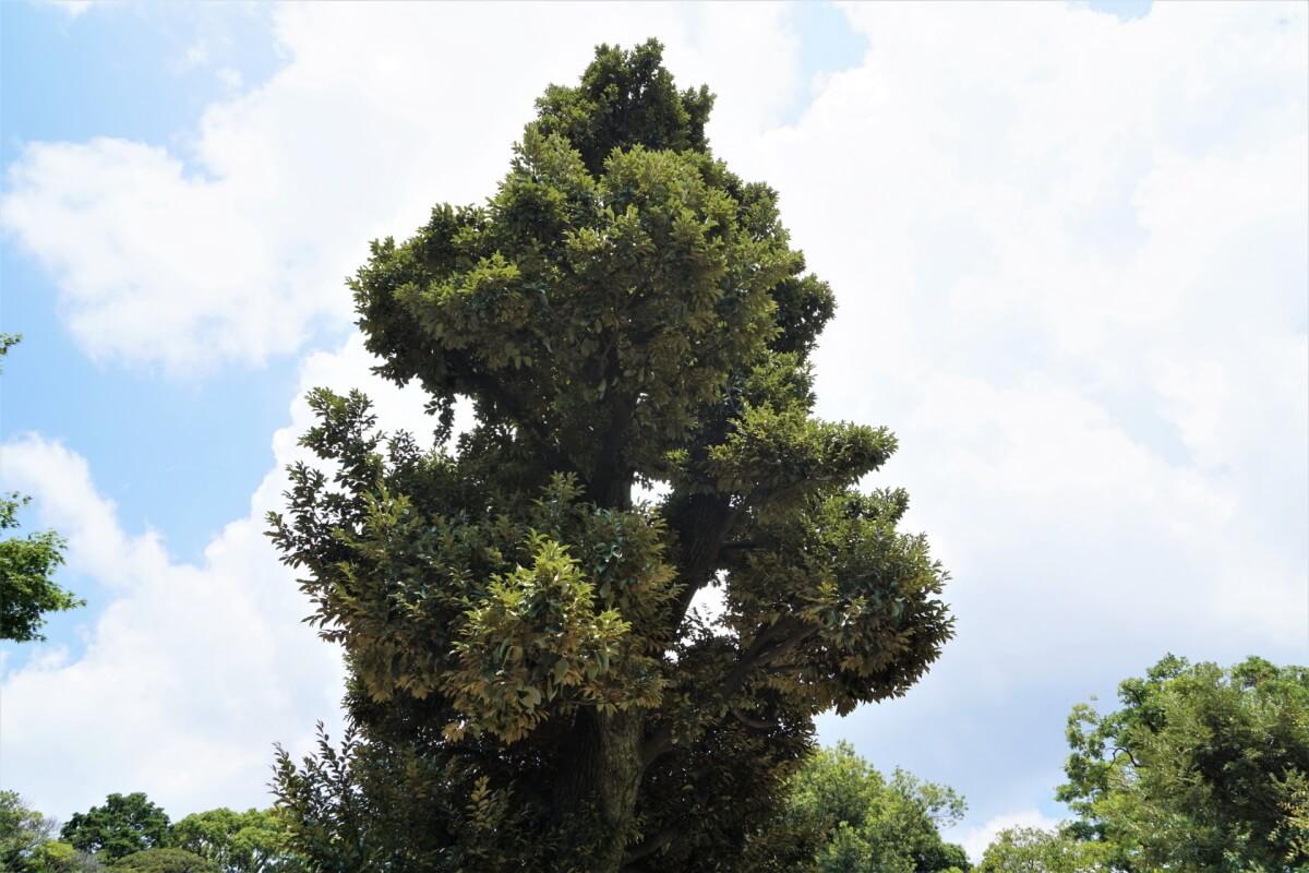 シイ(椎)の木
