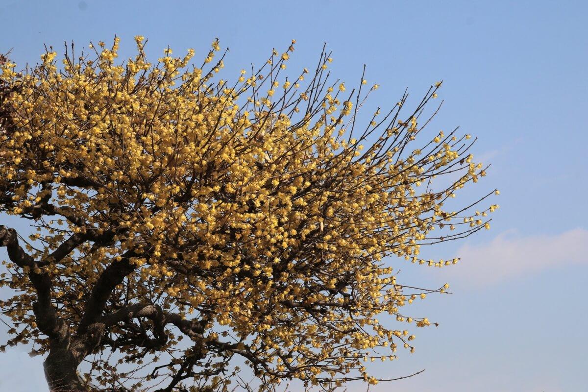 蝋梅 挿し木