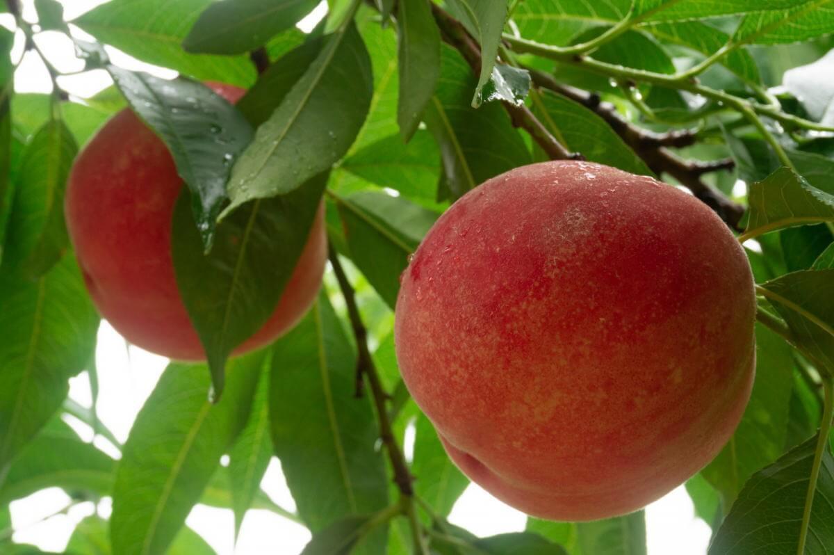 桃の鉢植え