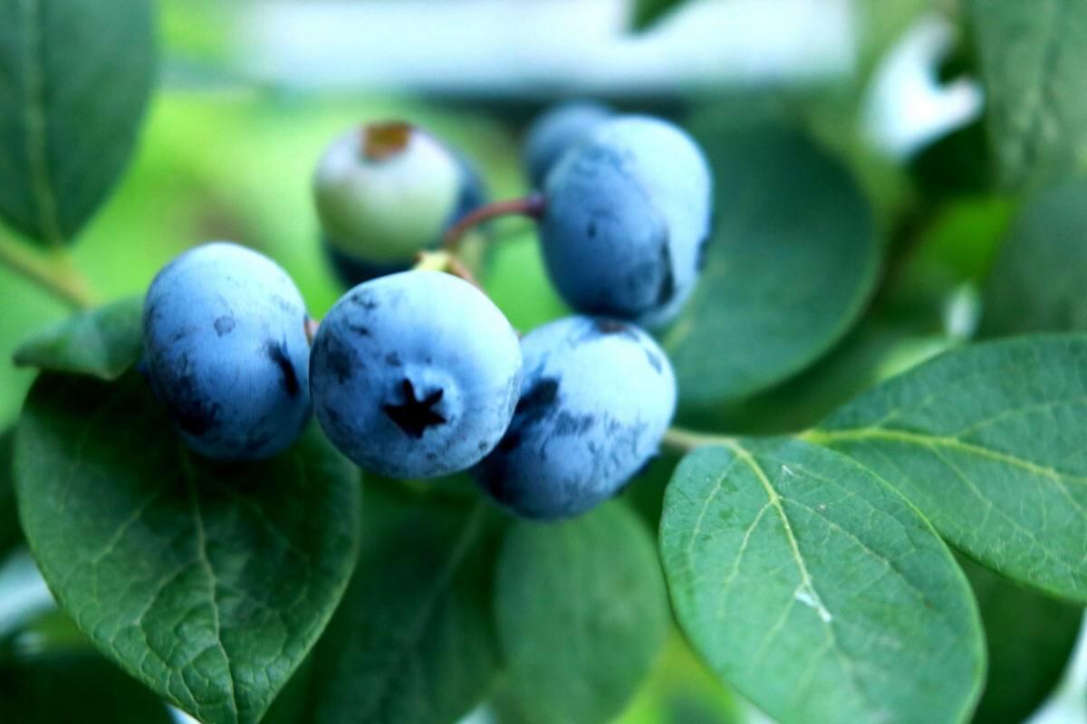 ブルーベリーの鉢植え