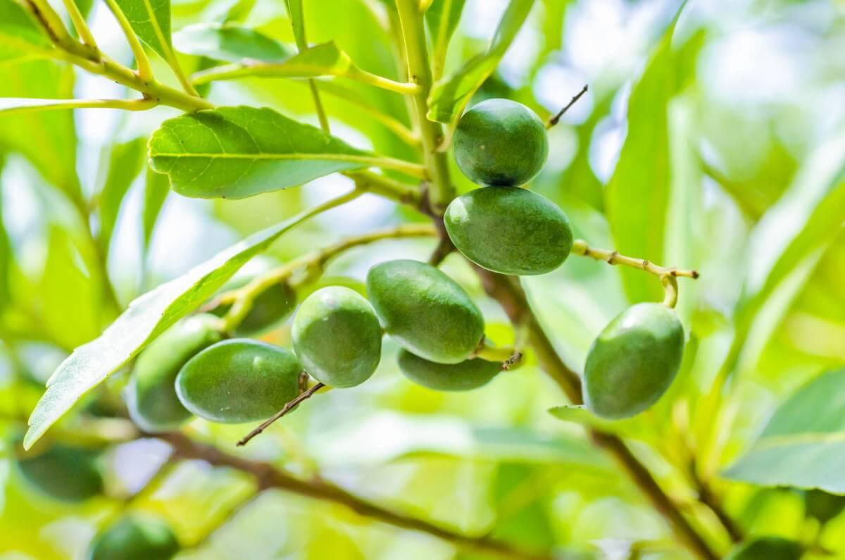 オリーブの鉢植え